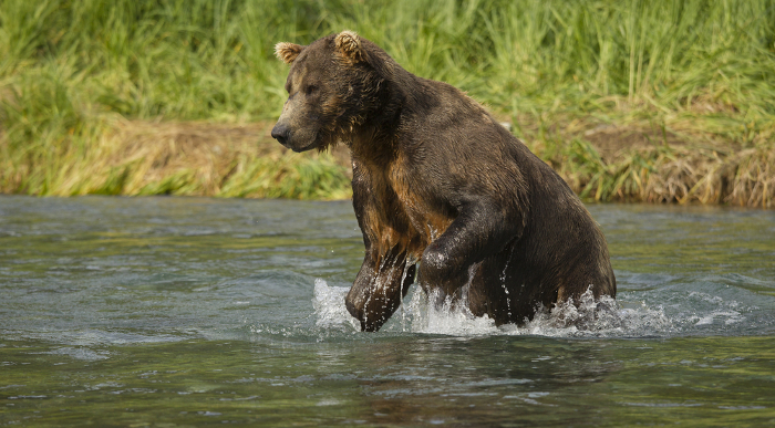 Bears Pouncing at the Online Watering Hole Online